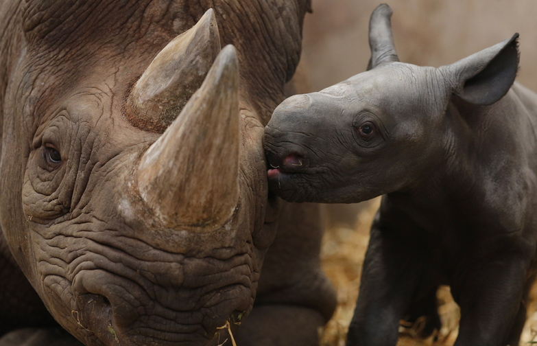 The Kenyan government and conservationists also are boosting security to protect rhinos by deploying unmanned drones, using night-vision goggles and training a 121-member anti-poaching unit that includes paramilitary forces.