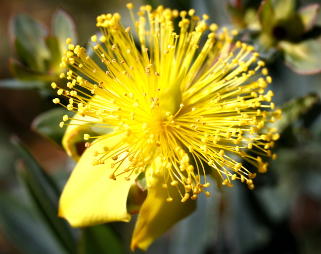 St. John's wort is a perennial plant in Aroostook and Penobscot counties, and has many medicinal uses that make it desirable as well as aesthetic.