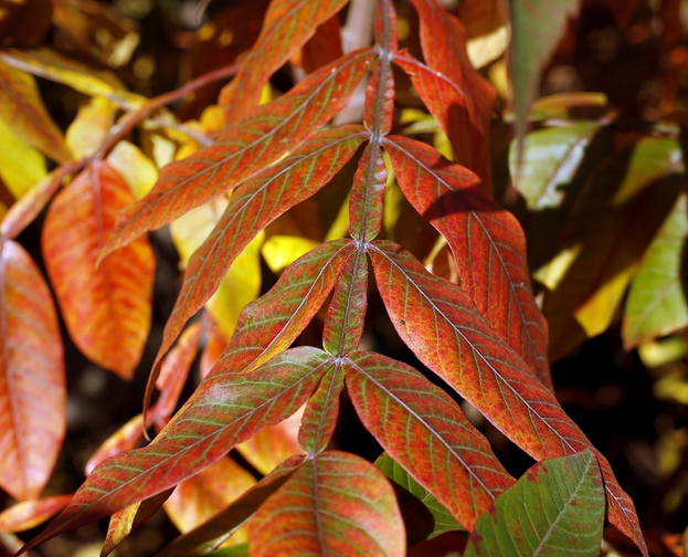 Winged sumac is well-suited to natural and informal landscapes because it has underground runners that spread to provide cover for birds and wildlife.