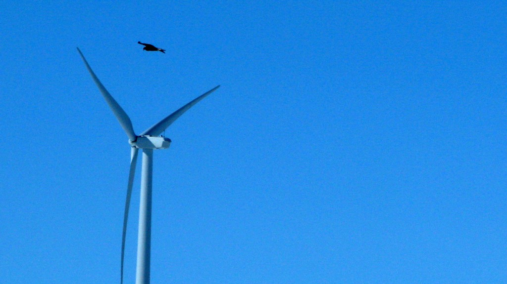 A golden eagle is seen flying over a wind turbine on Duke Energy's Top of the World wind farm in Converse County, Wyo., in April. The Obama administration is taking action against wind farms for killing eagles.