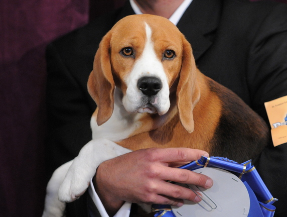Uno, a 15-inch beagle, winner of the hound group, poses with his blue ribbon at the 132nd Westminster Kennel Club Dog Show at Madison Square Garden in New York on Feb. 11, 2008. A large DNA study suggests dogs arose from wolves in Europe some 19,000 to 32,000 years ago. Results were published online Thursday by the journal Science.