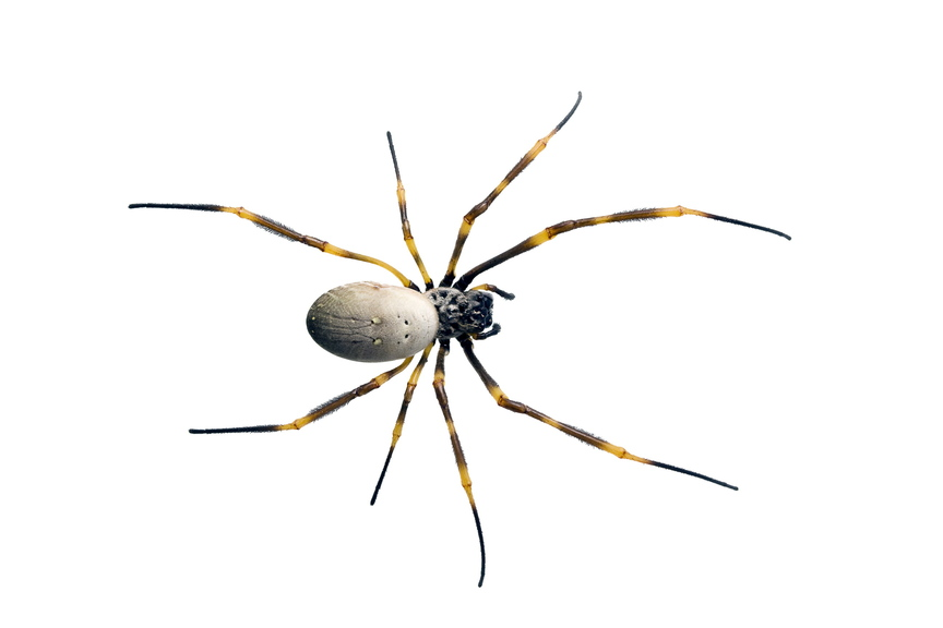 Nursey web spider