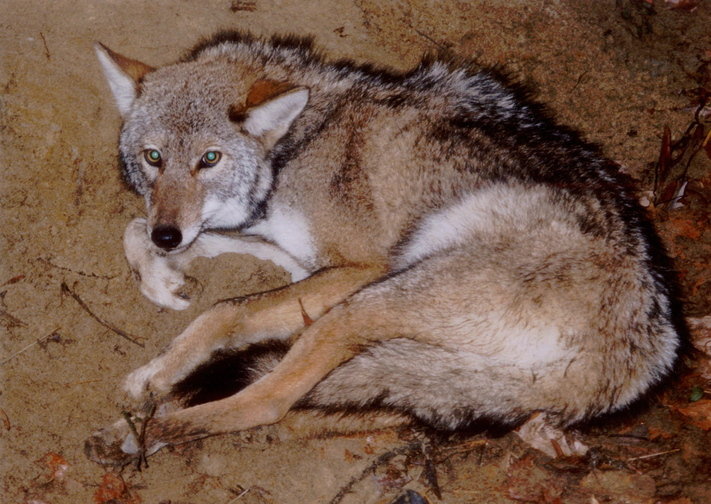 An eastern coyote is photographed near a leghold trap in this 1995 photo, before being released back to the wild.