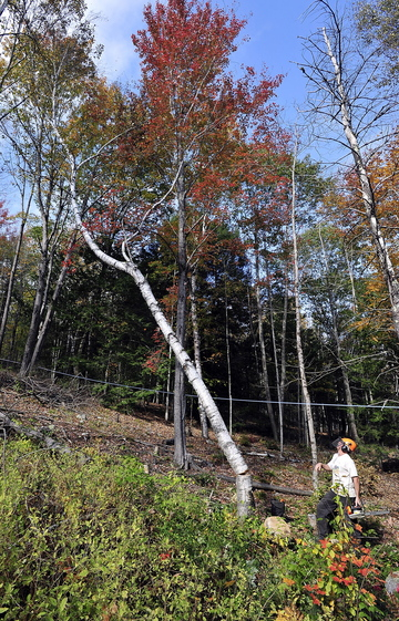 Tom Hoerth, Bath city arborist and tree warden, cuts a white birch on Oct. 15 in the Butler Head Preserve to increase the sunlight for sugar maples, as part of the community forest management program.
