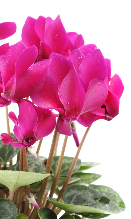 With its splashy, colorful blooms, cyclamen is a wonderfully cheerful houseplant to have in winter.