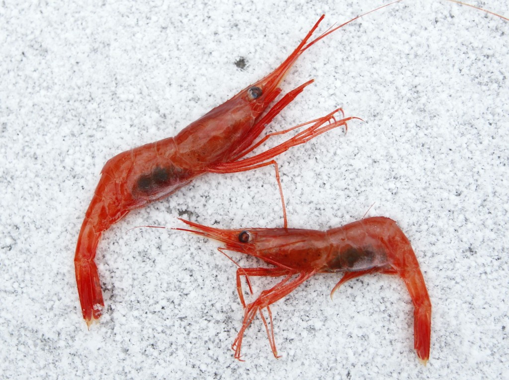 Northern shrimp, also called pink shrimp, lay on snow aboard a trawler in the Gulf of Maine.