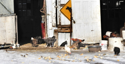 Chickens eat bread and baked goods outside a barn at the Bill Mitchell farm in Smithfield on Wednesday.