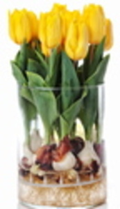 Forced daffodils can brighten the indoors before outdoor growing starts.
