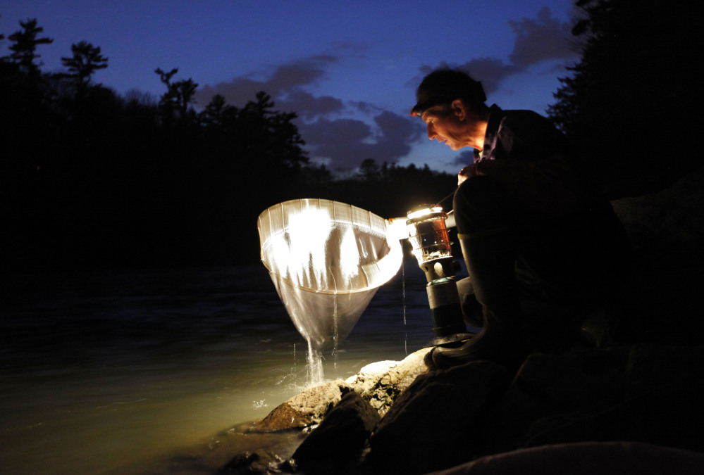 Elver fisherman Bruce Steeves checks his dip net while fishing by lantern light on a river in southern Maine in 2012.