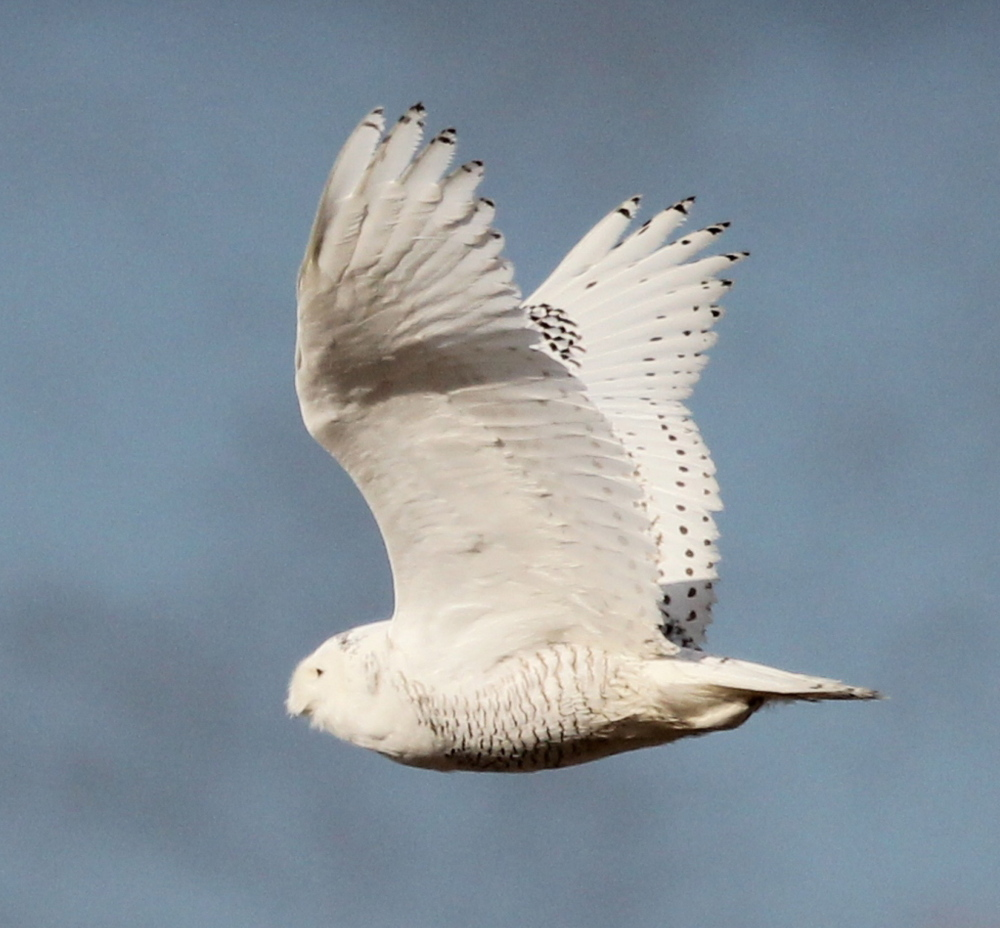 Last May, this snowy owl ventured into southern Maine in search of food. It was photographed flying above the salt marshes at Biddeford Pool.
