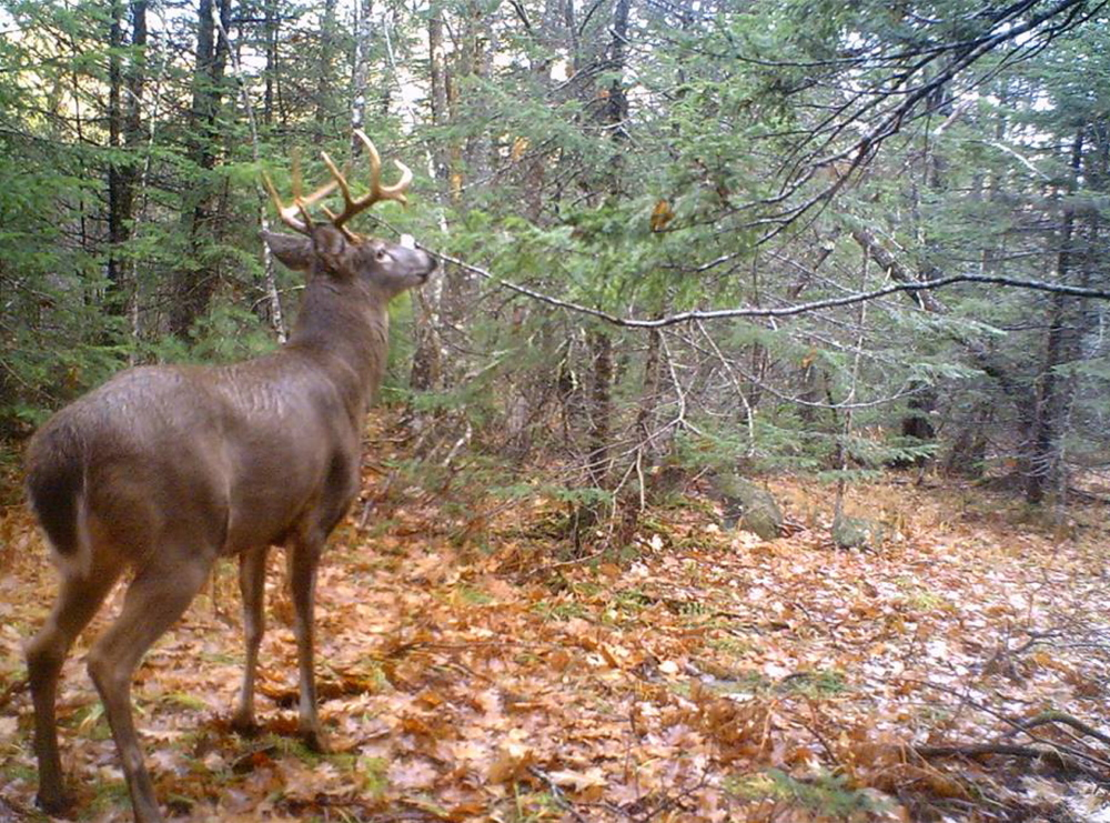 Standish's Eric McCabe got this photo from his deer cam, but by the time he went hunting, the impressive buck was nowhere to be seen, proving again that while the technology is fun it's not a guarantee of a kill.
