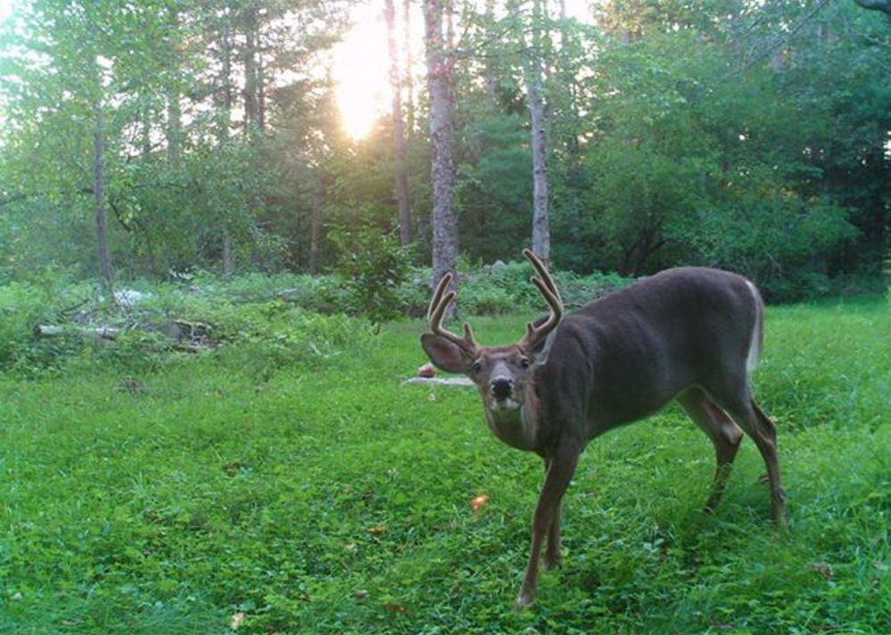 The big buck with the enormous velvet antlers seems to be smiling in Seth Raven's remote camera in Waldo. It might still be smiling, as Raven never saw it while hunting.