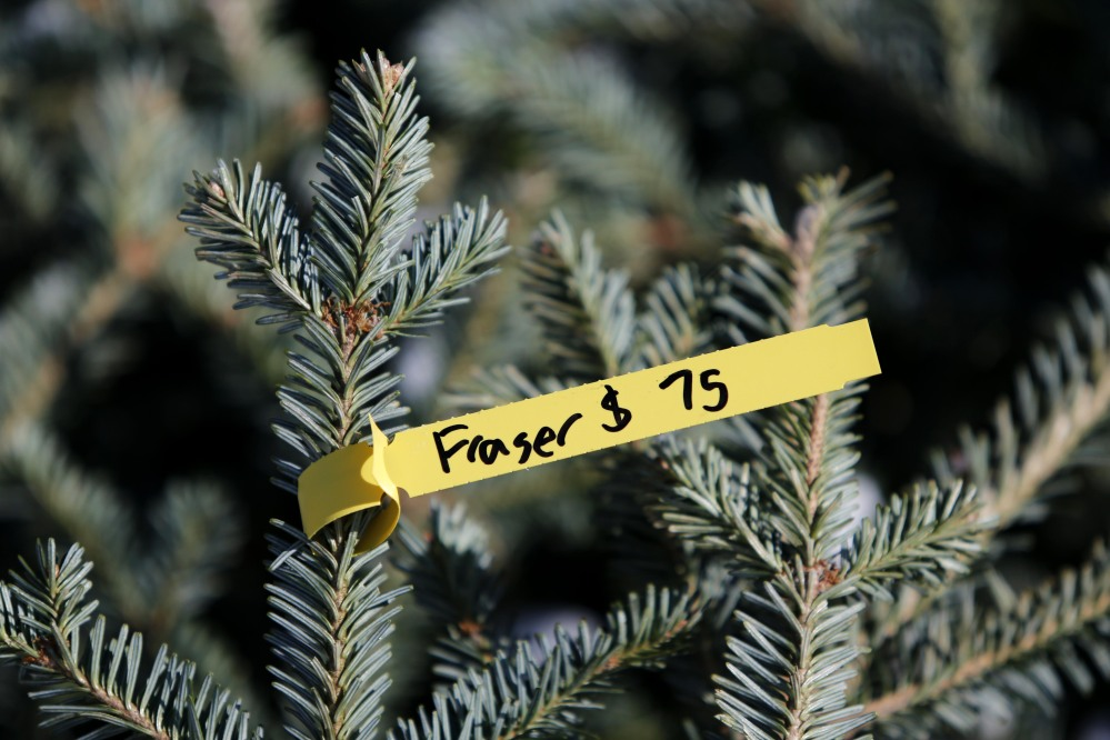 A Fraser fir grown in Aroostook County sells for $75 in Freeport, Maine. Maine Christmas tree growers are scrambling to meet demand during a compressed holiday season.