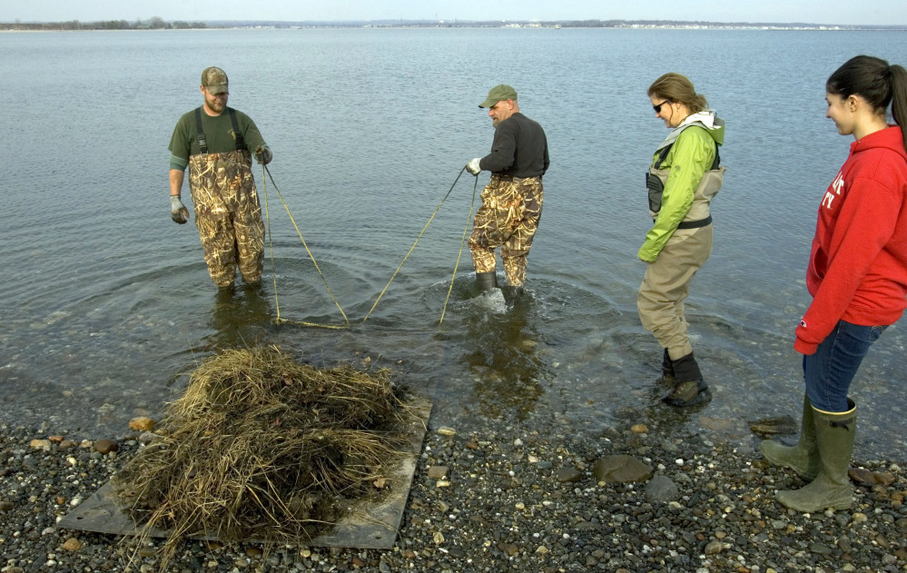 Luke Johnson, left, and Alex Mizger from All Habitat Services in Connecticut help Jennifer Mattei, second from right, a professor at Sacred Heart University, and graduate student Lindsay Tomaszewski, right, plant salt grass in the water off of Stratford Point in Stratford, Conn.