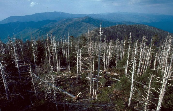 The balsam woolly adelgid, an insect that destroys fir trees, was first discovered in the mid-1950s on Mount Mitchell in North Carolina, above. There's no stopping it in the wild where chemicals might kill other organisms.