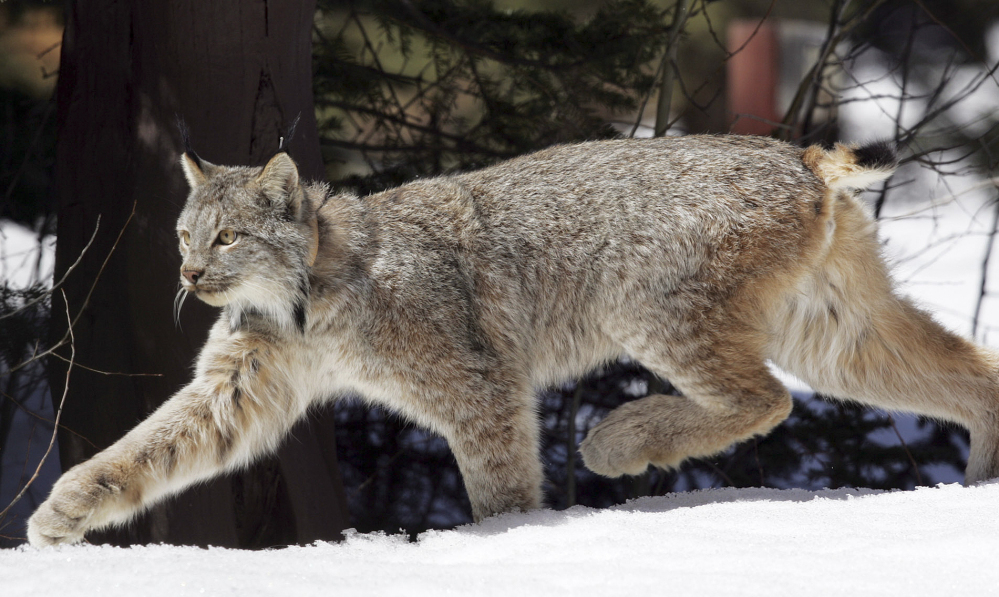 A Canada lynx uses its large feet like snowshoes to travel over the surface of snow. The number of Canada lynx has increased in Vemont over the past few years, according to Mark Maghini, manager of the Vermont's Nulhegan Basin wildlife refuge.