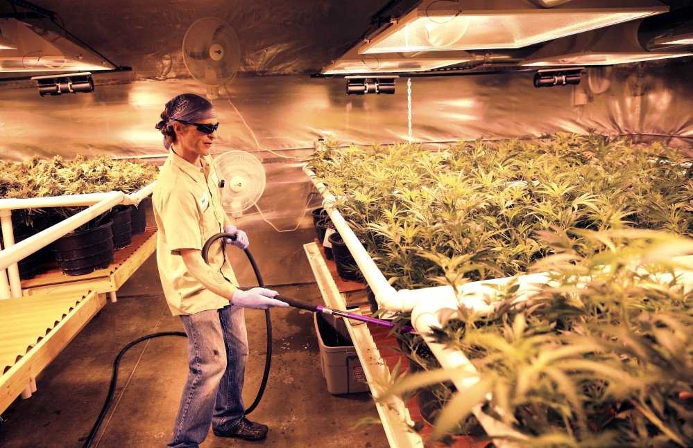 An employee waters pot plants inside a grow house, later to be harvested, packaged and sold at Medicine Man marijuana dispensary, which is to open as a recreational retail outlet at the start of 2014, in Denver.