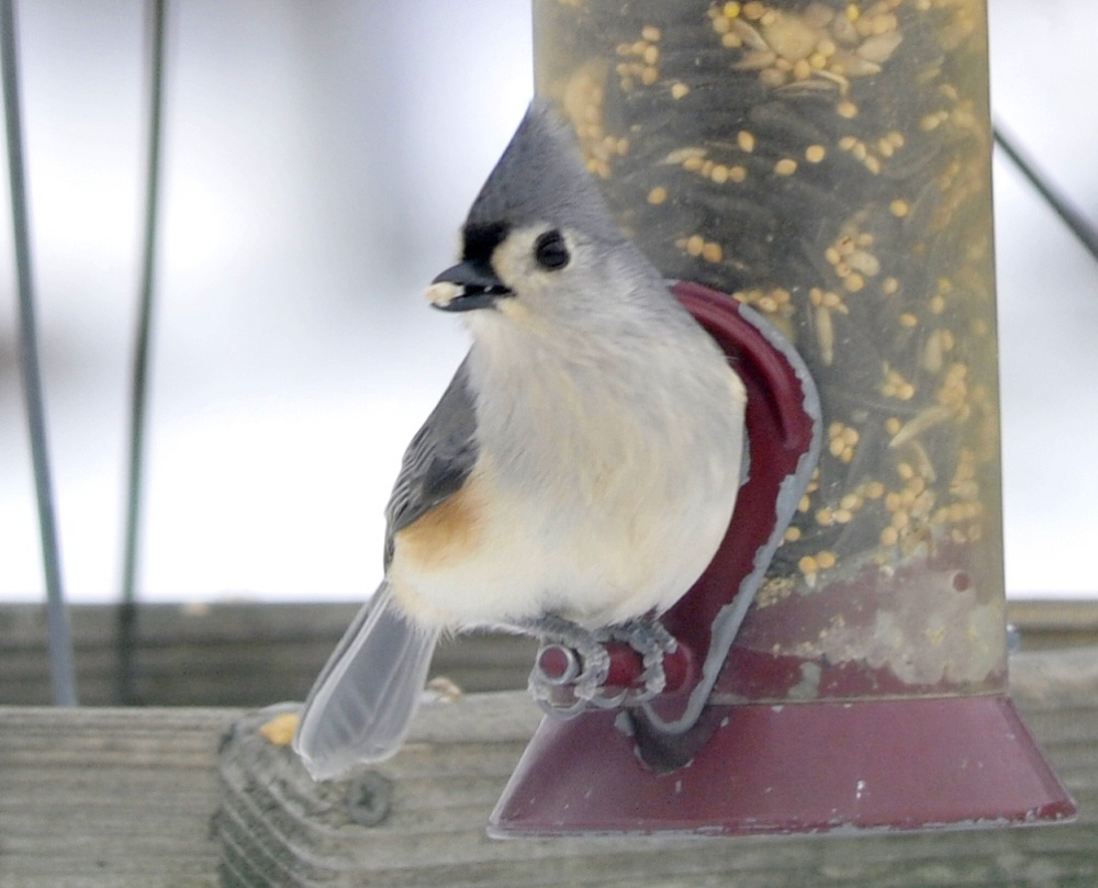 The tufted titmouse's range is expanding northward, possibly because of the increased availability of feeders.