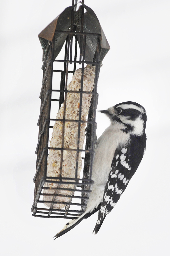 This female downy woodpecker was spotted enjoying the suet at a feeder on Cousins Island in Yarmouth. Sure is easier than having to peck through tree bark.