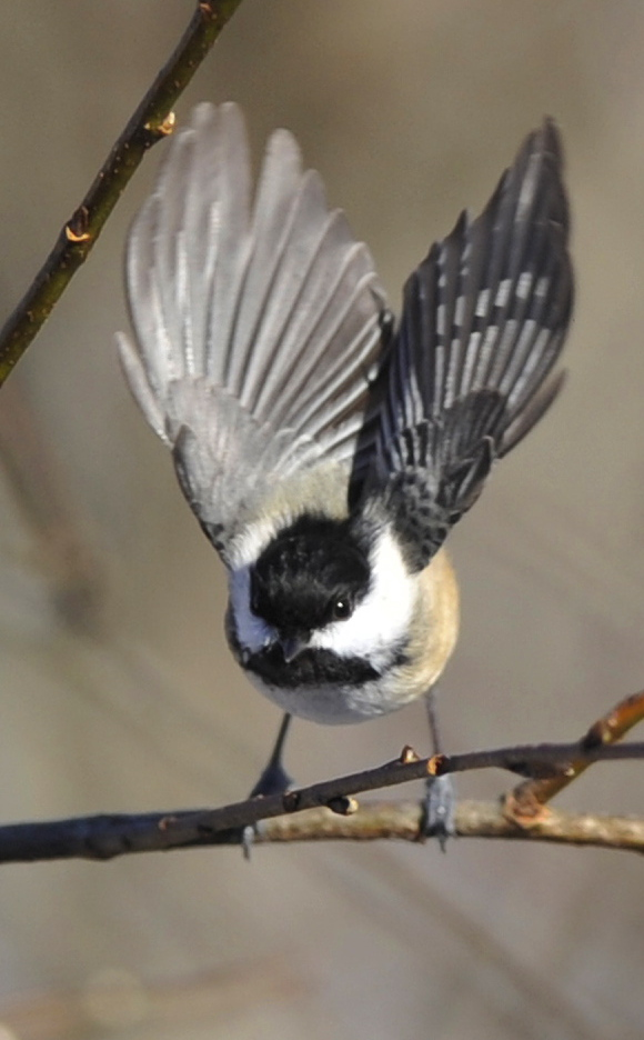 The black-capped chickadee may look fragile, but nature has prepared it to survive – even thrive – in cold temperatures, and it's earned its billing as Maine's official bird.