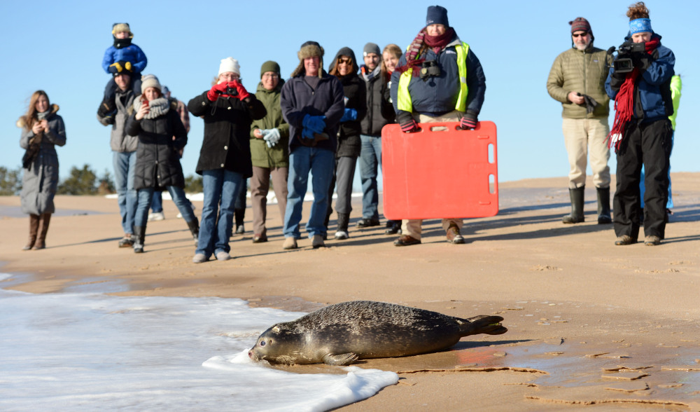 Spectators watch as Carson, a female harbor seal pup rehabilitated at Mystic Aquarium, heads into the ocean water at Blue Shutters Beach in Charlestown, R.I., on Friday.