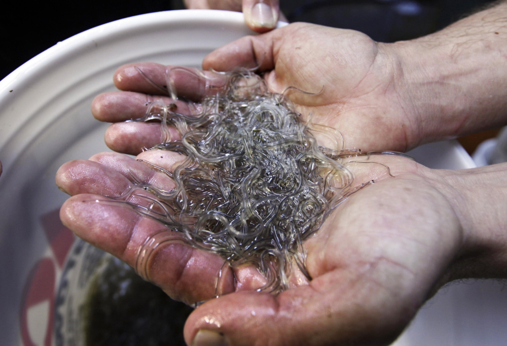 In this March 2012 file photo, a man holds elvers, young, translucent eels, in Portland, Maine.