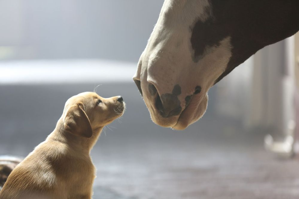 "This undated frame grab provided by Anheuser-Busch shows the company's 2014 Super Bowl commercial entitled ""Puppy Love."" The ad will run in the fourth quarter of the game."