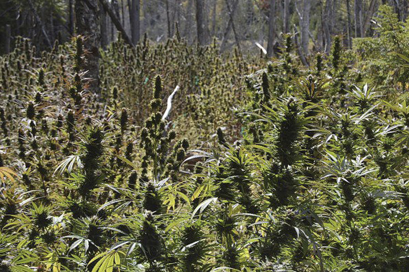 Some of the nearly 3,000 marijuana plants found on remote plots in Washington County are shown after a drug raid in 2009.