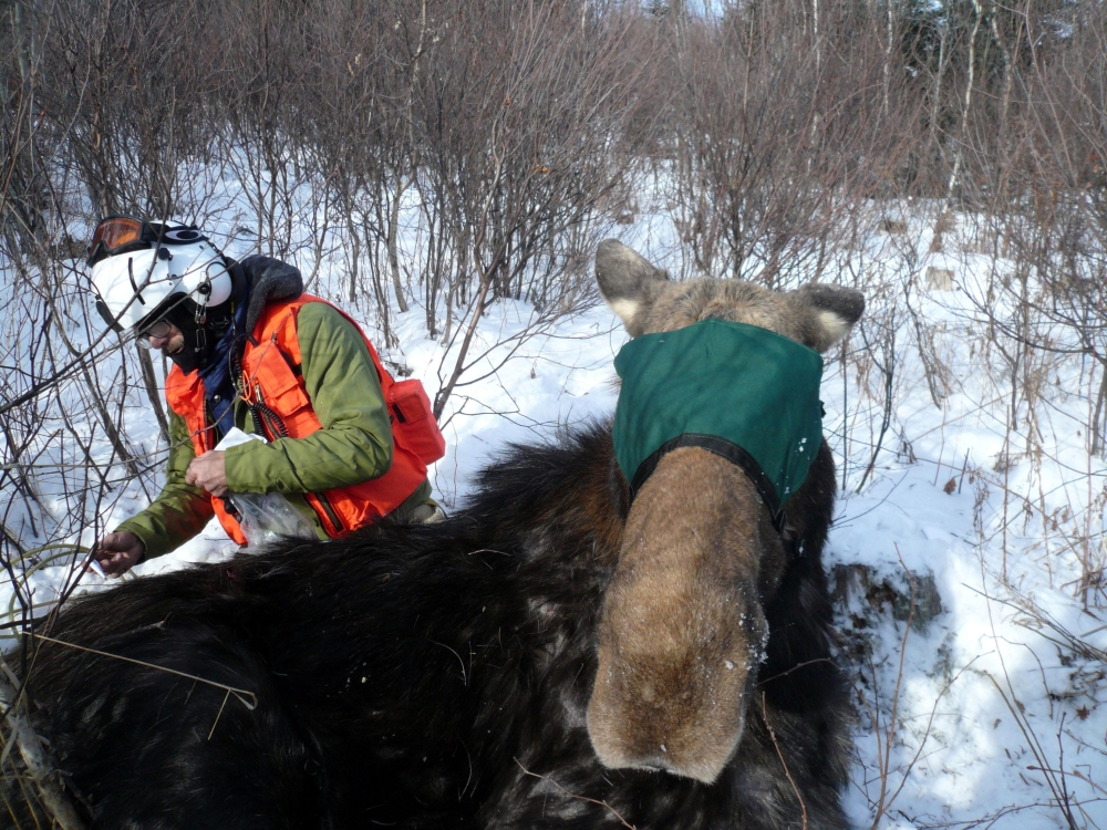 A moose in New Hampshire is examined and has a tracking collar put on. Researchers studying the declining moose population say some of the animals being tracked are thinner than they should be for this time of year.