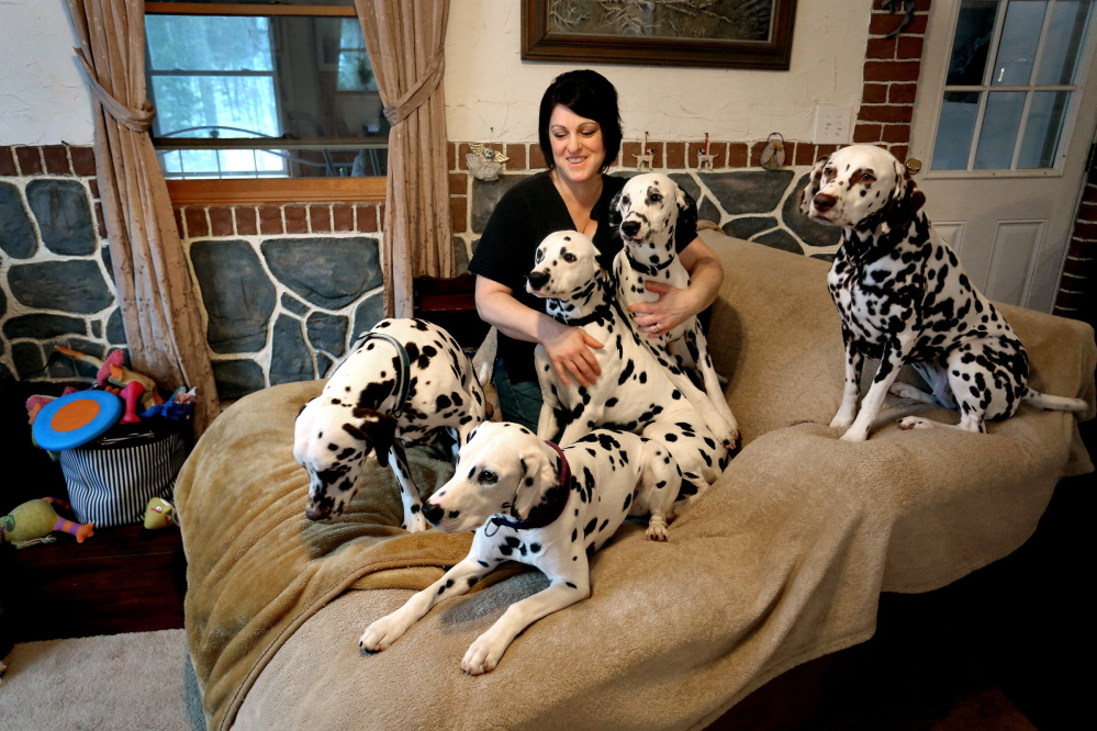 Dawn Eliot-Johnson sits with her five Dalmatians at home in Bryant Pond. The veterinary technician and her Dalmatian Ghost are about to compete at Westminster for the first time.