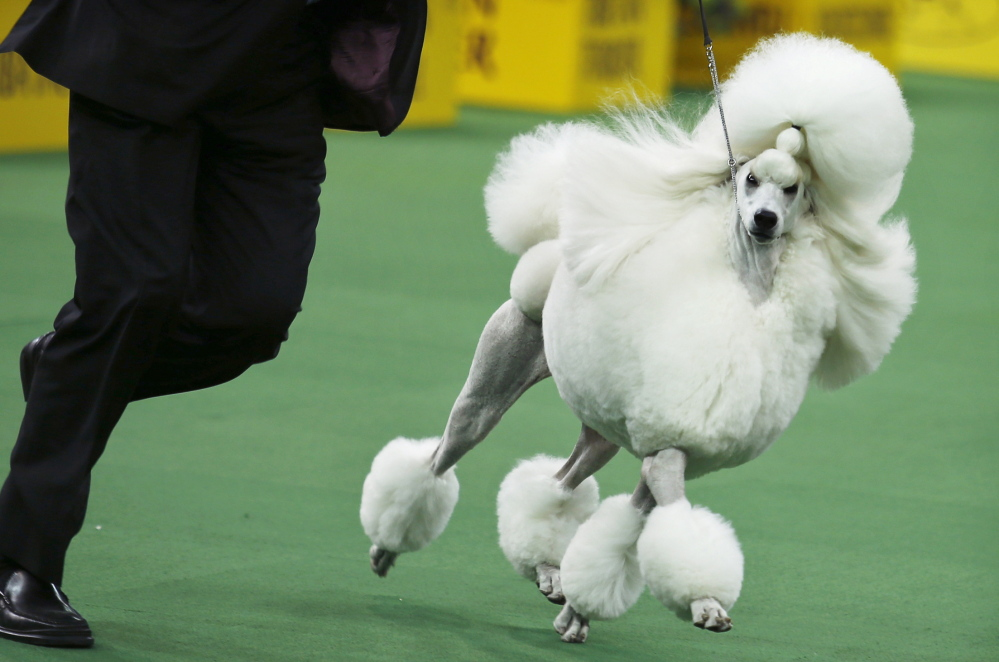 Ally, a standard poodle, was runner-up for the best in show at the Westminster Kennel Club dog show on Tuesday.