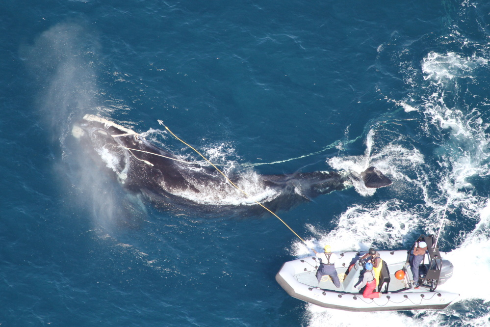"""This photo released by the Georgia Department of Natural Resources shows right whale #4057 circling to the right as responders from the Georgia Department of Natural Resources and Florida Fish and Wildlife Conservation Commission throw a custom-made """"cutting grapple,"""" hoping to sever the long strand of fishing rope exiting the whale's mouth. Seconds later the heavy rope parted and the whale swam away unencumbered."""