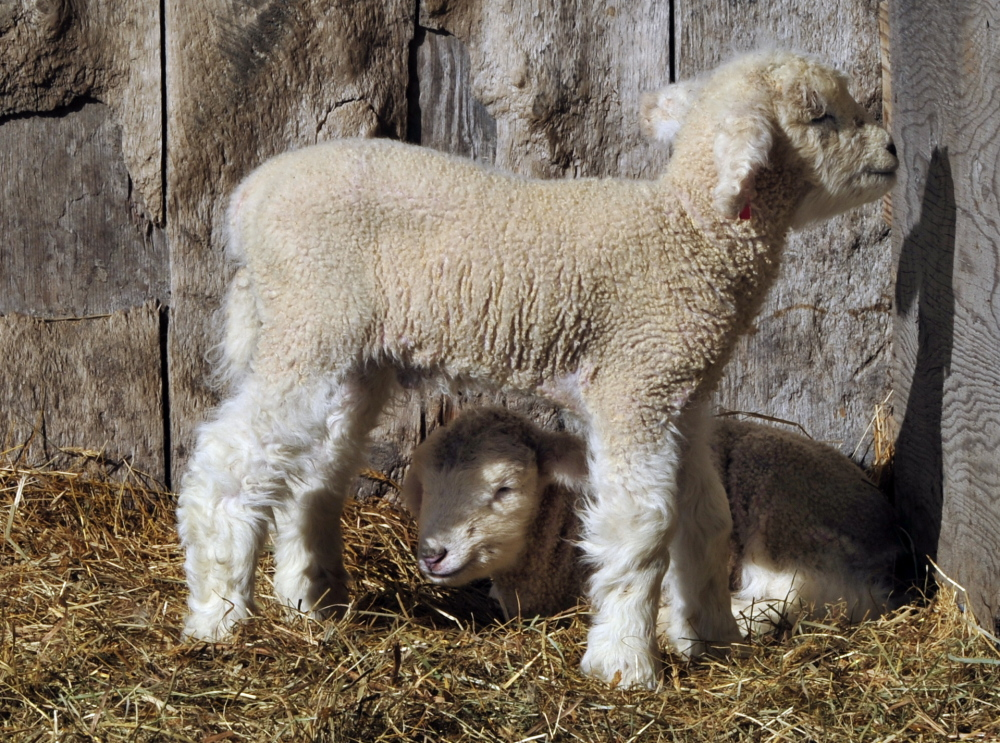 Twins lambs enjoy the late-winter sun as they arise from a sleep.