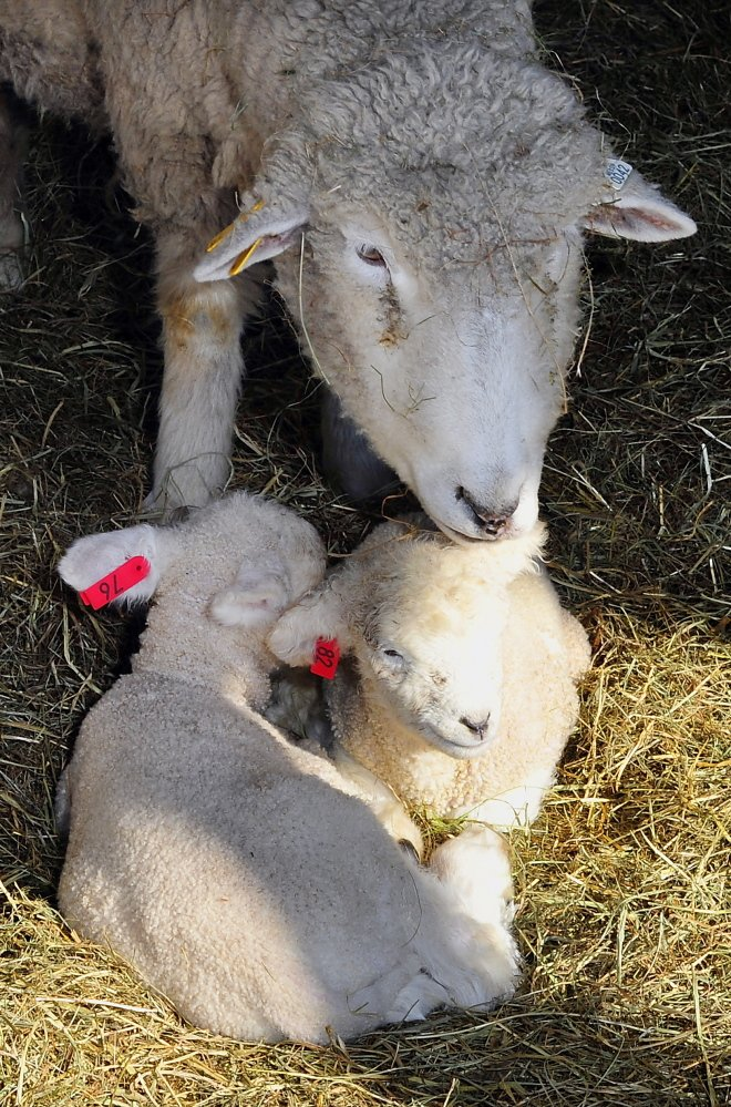 All ewe need is love, as a mother sheep cleans the wool of her twin lambs born in the past week at Wolfe's Neck Farm. In due time, most of them will have a destiny with the dinner table.