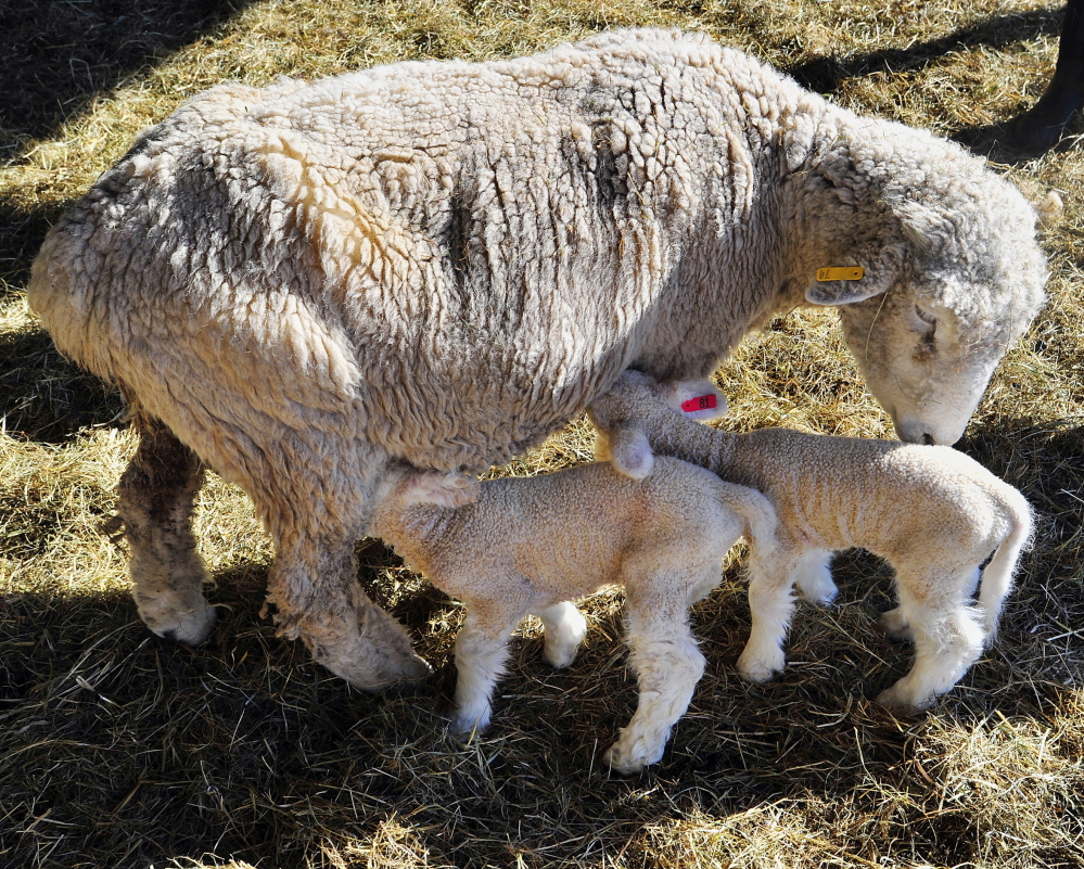 The mother ewe does her duty as her newly born twins go for nourishment while having their wool cleansed on a recent morning at Freeport's Wolfe's Neck Farm, which invites the public to come on over and observe the birthing of the baby sheep.