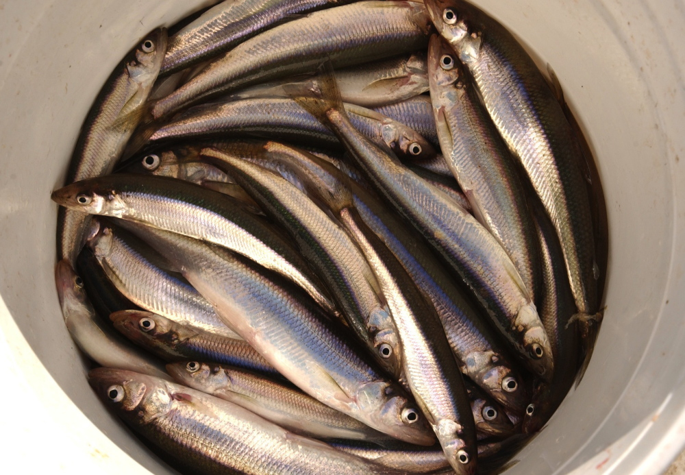 Smelt numbers are dropping in central and southern Maine, and the loss could have a significant commercial, recreational and ecological impact on the state.