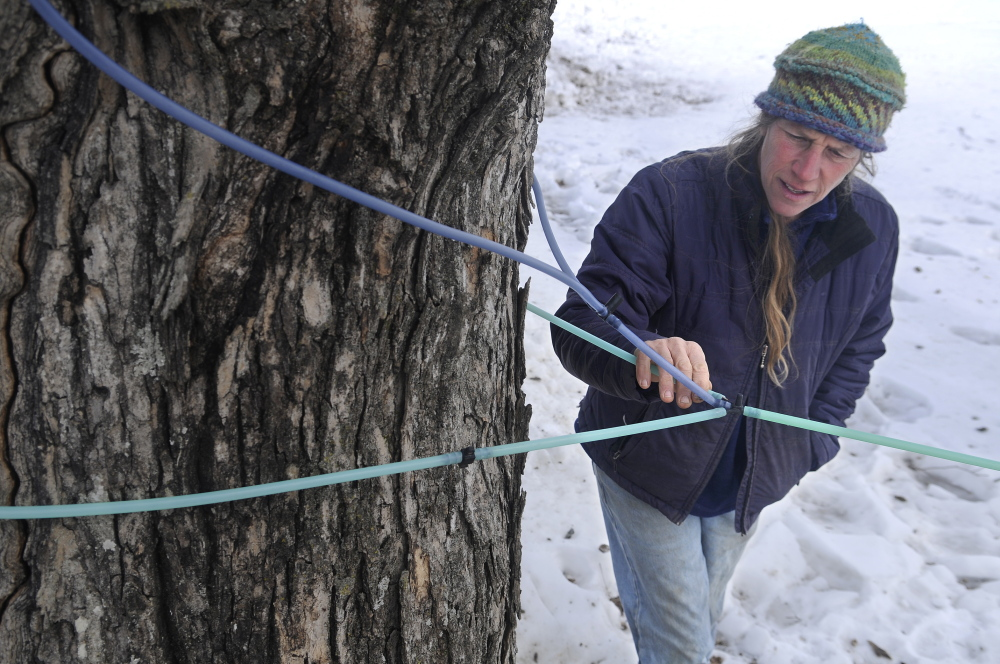 Jan Goranson inspects a frozen sap line Monday, March 3, 2014 at her family's Dresden farm. Unyielding cold weather is yet to let the sap run from maples across Maine, delaying the start of sugar season. Producers are confident the sap will start running by the end of the month. Goranson Farm evaporates sap in a sugar house and sells syrup.