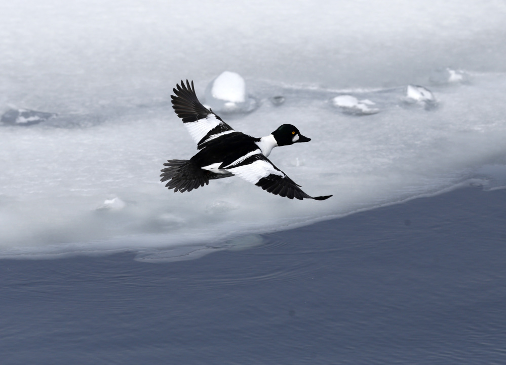 A Common Goldeneye duck flies over an open ferry channel on Lake Champlain in Essex, N.Y.