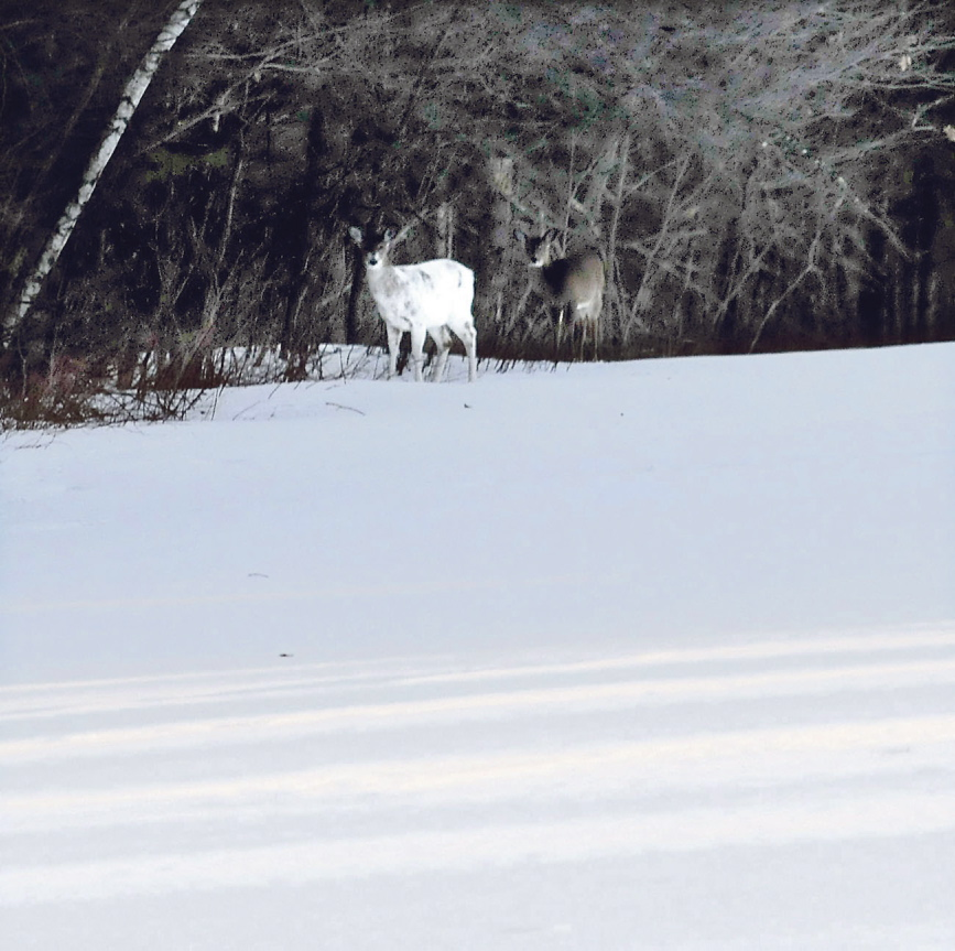 LOOK OUT: A piebald deer — a deer with a genetic variation that produces larges patches of white coloring — and another deer search for food in a field along Route 139 in Unity Township late last week. Less than a mile away, residents have placed a sign and flagging to warn motorists that deer are crossing the road and 14 recent collisions with deer have occurred in the area.