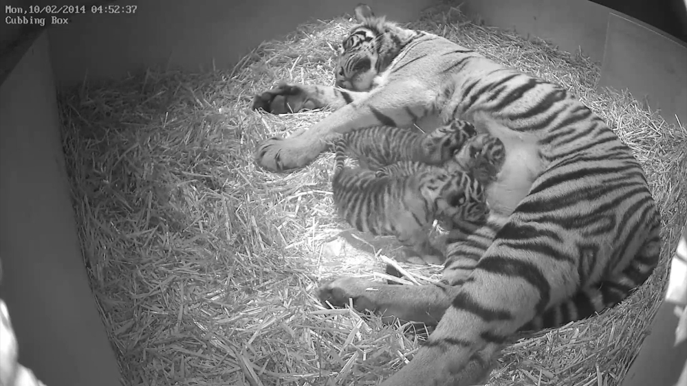 Sumatran tigress Melati is shown with her triplet cubs at the Zoological Society of London a week after their Feb. 3 births.