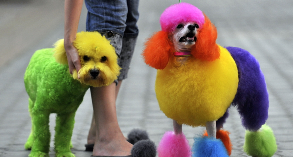 Dogs strut their colorful do's after visiting a pet beautician. Americans spent a record $55.7 billion on pet care in 2013.