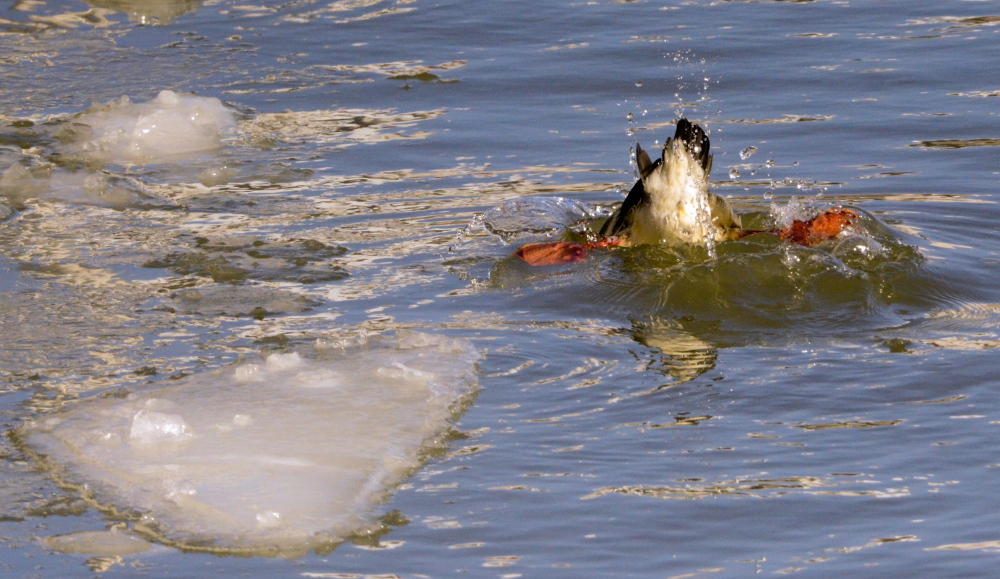 A duck swims in the Manitowoc River in Wisconsin late last month. In the Great Lakes region, duck carcasses began piling up by the hundreds in January.