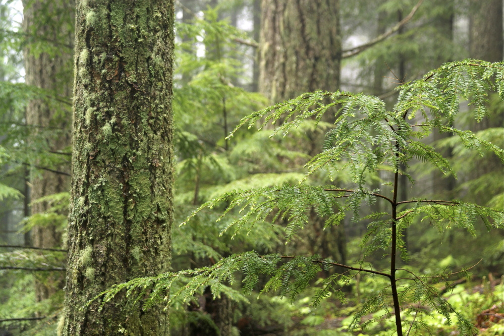 Hemlock forests like this one are endangered by the woolly adelgid, which has decimated stands from Connecticut south on the East Coast. Hemlocks in Maine have done a good job surviving on their own so far, but it is hoped that a quarantine affecting several counties in Maine will help slow the pest's progress.