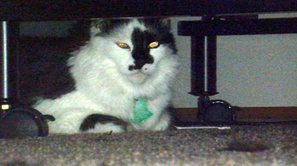 In this Tuesday, March 11, 2014 file photo, Lux, the family cat of Teresa Barker and her boyfriend Lee Palmer and their 8-month-old son, Jesse, hides under a bed at the family's home in Portland, Ore.