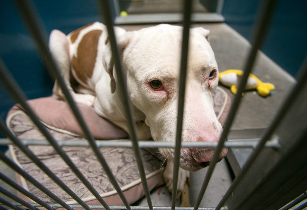 Mickey, a pit bull, looks through the bars of his cage at West Valley Animal Care Center in Phoenix, Ariz. A judge ruled Tuesday that Mickey, who attacked an Arizona 4-year-old, will not have to be euthanized.