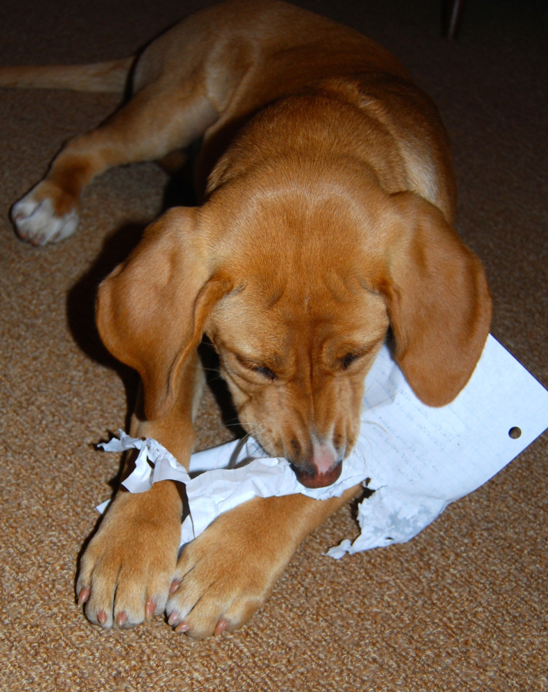 Puppy-proofing a home includes keeping social studies homework somewhere a pet can't reach, or it really might get eaten by the dog.