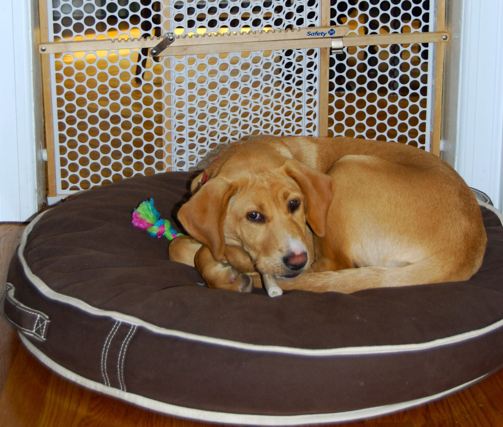 A puppy rests by a gate that prevents her from entering a formal dining room where there are fragile items and furniture with sentimental value.
