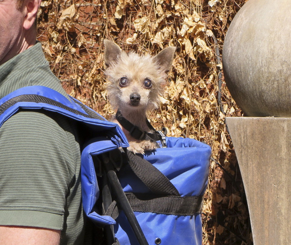 Steve Greig's dog, Phyllis, a Chihuahua-poodle mix, peers out of his backpack. Greig found the 10-year-old dog on Erin O'Sullivan's Susie's Senior Dogs Facebook page.