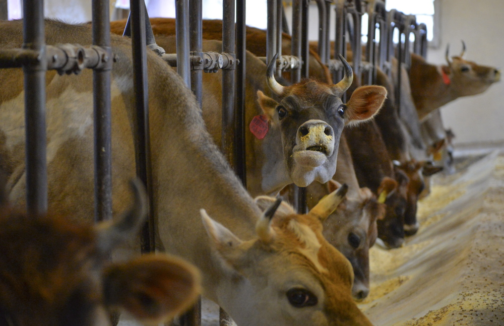 Dairy cows at Hedgebrook Farm in Winchester, Va., where a cow-sharing program run by third-generation farmer Kitty Hockman-Nicholas gives the animals' joint owners access to raw milk.