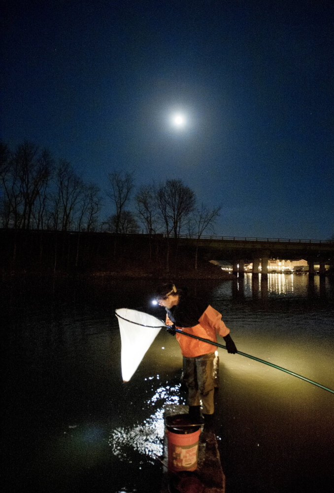 John Moore of Freeport checks his net for elvers while fishing in a southern Maine river two years ago. When the elver season starts Sunday, it will be under a new monitoring system using electronic swipe cards.